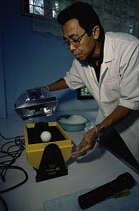 Philippine Eagle Center director, Domingo Tadena, turns and weighs a precious Philippine eagle egg {Pithecophaga jefferyi} being incubated at the center, Mindanao Island, Philippines, November 2001. - Tim Laman