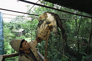 At the Philippine Eagle Captive Breeding Program keeper Eddie Juntilla trains a male Philippine eagle {Pithecophaga jefferyi} to deliver sperm samples. Mindanao Island, Philippines. November 2001. - Tim Laman