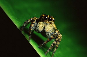 Jumping spider (Salticidae) in Sierra Madre National Park, Luzon, Philippines. September  -  Tim Laman
