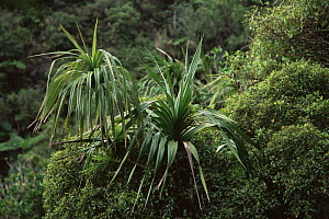 (Pandanus sp) tree in the forests of Nuku Hiva Island, Marquesas Islands, French Polynesia - Tim Laman