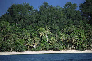 Casaurina trees, coconut palms and other vegetation line a beach in Palau, Micronesia. December 2001.  -  Tim Laman
