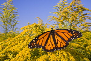 Male Monarch butterfly (Danaus plexippus) feeding on nectar of Goldenrod flowers, East coast, USA - Ingo Arndt