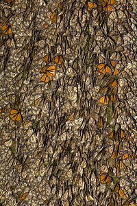 Tree trunk covered with members of a colony of Monarch butterflies (Danaus plexippus), some of them have their wings open and are basking in the sun, overwintering colony, Michoacan, Mexico  -  Ingo Arndt