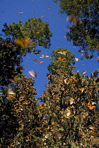 Monarch butterflies (Danaus plexippus) flying and resting in trees, midday, overwintering colony, Michoacan, Mexico  -  Ingo Arndt