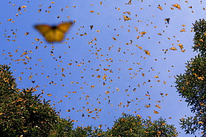 Monarch butterflies (Danaus plexippus) flying in warmth of midday sun, overwintering colony in Michoacan, Mexico - Ingo Arndt