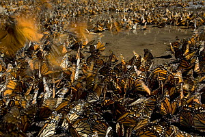 Monarch butterflies (Danaus plexippus) gathered round water to drink, overwintering colony, Michoacan, Mexico  -  Ingo Arndt