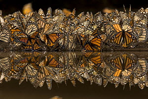 Monarch butterflies (Danaus plexippus) drinking from pool of water, overwintering colony, Michoacan, Mexico. Not available for print sales  -  Ingo Arndt