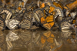 Monarch butterflies (Danaus plexippus) drinking from pool of water, overwintering colony, Michoacan, Mexico - Ingo Arndt