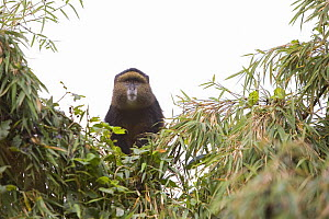 Golden monkey (Cercopithecus mitis kandti) looking down from tree, Parc National des Volcans, Rwanda - Ingo Arndt