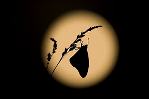 Monarch butterfly (Danaus plexippus) hanging from a blade of grass, silhouetted against the full moon, East coast USA. - Ingo Arndt