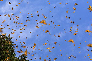 Monarch butterflies (Danaus plexippus) flying, overwintering colony, Michoacan, Mexico  -  Ingo Arndt