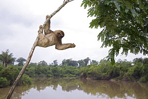 Brown-throated three-toed sloth (Bradypus variegatus) hanging from branch above river in rainforest, Peru  -  Ingo Arndt