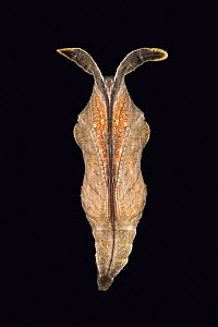 Pupa of Noble Cracker butterfly (Hamadryas feronia) from Central America  -  Ingo Arndt