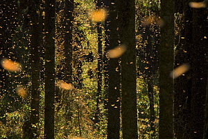 Monarch butterflies (Danaus plexippus) flying amongst trees, overwintering colony, Michoacan, Mexico - Ingo Arndt