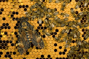 Deaths head hawkmoth (Acherontia atropos) on honeycomb feeding with Honey bees (Apis mellifera) on their honey in the hive, Germany.The moth releases a soothing scent which temporarily fools the bees.  -  Ingo Arndt