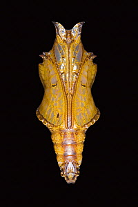 Pupa of Common sargeant butterfly (Athyma perius) - Ingo Arndt