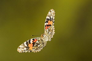 Painted lady butterfly (Vanessa cardui) in flight, Germany  -  Ingo Arndt
