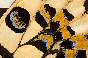 Close-up of wing pattern of Lemon / Common lime swallowtail butterfly (Papilio demoleus) Asia, Captive - Ingo Arndt