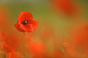 Common poppy flower (Papaver rhoeas), Europe - Ingo Arndt