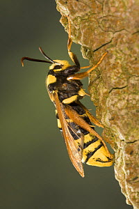 Hornet clearwing moth (Sesia apiformis), Germany - Ingo Arndt