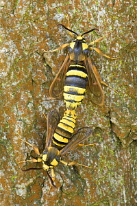 Hornet clearwing moth (Sesia apiformis) mating, Germany - Ingo Arndt