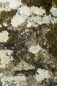 Peppered moth (Biston betularia) camouflaged amongst lichen on tree trunk, Germany - Ingo Arndt
