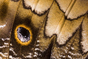 Close-up of wing pattern of Owl butterfly (Caligo memnon) Central America (Captive)  -  Ingo Arndt