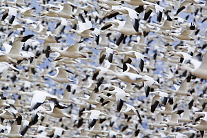 Large flock of Snow Geese (Chen caerulescens) flying, Bosque del Apache National Wildlife Refuge, New Mexico, USA  -  Ingo Arndt
