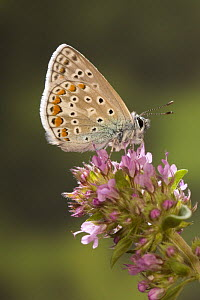 Adonis blue butterfly (Polyommatus bellargus) on flowers, Germany - Ingo Arndt