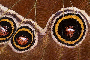 Close-up of eyes on wing of Common Morpho butterfly (Morpho peleides)  Costa Rica  -  Ingo Arndt