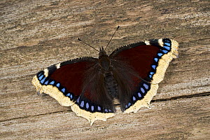 Camberwell beauty / Mourning cloak butterfly (Nymphalis antiopa) on wood, Germany  -  Ingo Arndt
