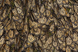 Monarch butterflies (Danaus plexippus) covering tree trunk, early morning, overwintering colony, Michoacan, Mexico  -  Ingo Arndt