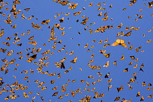 Mass of Monarch butterflies (Danaus plexippus) flying, overwintering colony, Michoacan, Mexico  -  Ingo Arndt