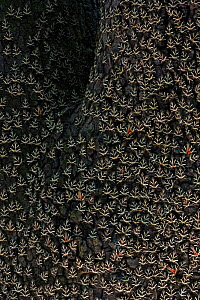 Mass of Jersey tiger moths (Euplagia quadripunctaria) on tree trunk, Rhodes, Greece - Ingo Arndt