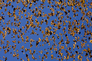 Cloud of Monarch butterflies (Danaus plexippus) flying, overwintering colony, Michoacan, Mexico - Ingo Arndt