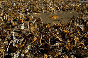 Monarch butterflies (Danaus plexippus) gathered to drink, overwintering colony, Michoacan, Mexico  -  Ingo Arndt