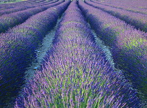 Fields of Lavander flowers ready for harvest, Sault, Provence, France, June 2004 - Inaki Relanzon