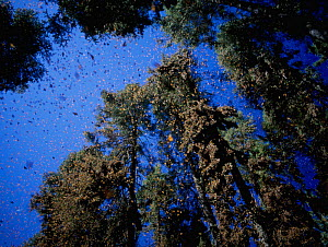 Clouds of Monarch butterflies {Danaus plexippus} flying and resting on trees while on migration, Miochacan, Mexico, January 1997  -  Inaki Relanzon
