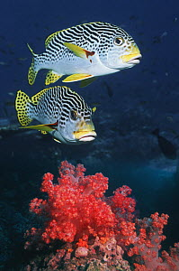 Two Lined sweetlips (Plectorhichus lineatus) swimming over coral, Andaman Sea, Thailand  -  Georgette Douwma
