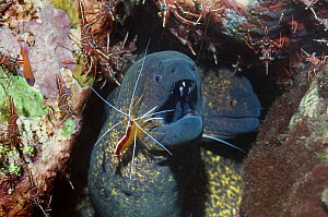 Yellow edged / margined moray eel (Gymnothorax flavimarginatus) being cleaned by a Hump-back / Scarlet cleaner shrimp (Lysmata amboinenis) with Durban hinge-beak shrimps (Rhynchocinetes durbanensis) o... - Georgette Douwma