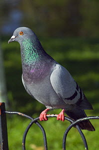 Feral pigeon / Rock dove (Columba livia) sitting on fence, London, UK  -  Georgette Douwma