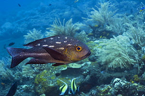 Midnight snapper (Macolor macularis), Bali, Indonesia  -  Georgette Douwma