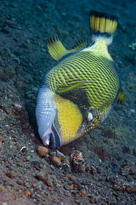 Titan triggerfish (Balistoides viridescens) searching for food on seabed, Bali, Indonesia  -  Georgette Douwma