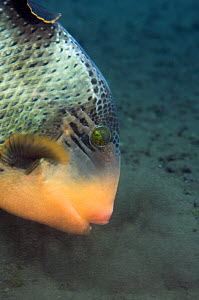Titan triggerfish (Balestoides viridescence) blowing in the sand to expose prey like molluscs or crustaceans, Bali, Indonesia  -  Georgette Douwma