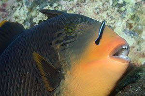 Titan triggerfish (Balestoides viridescence) with Cleaner wrasse (Labroides dimidiates), Bali, Indonesia  -  Georgette Douwma