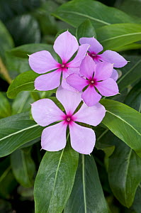 Madagascar periwinkle (Catharanthus roseus) which is cultivated for herbal medicine - Adrian Davies