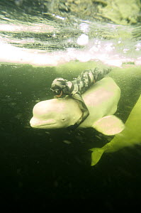 Julia Petrik  free-diving (without air supply) with captive Beluga / White whale {Delphinapterus leucas} under ice in the White sea, Russia March 2008  -  Dan Burton