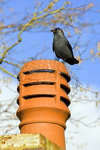 Jackdaw (Corvus monedula) standing on wire mesh covered chinmey pot, Gloucestershire, England - David Kjaer