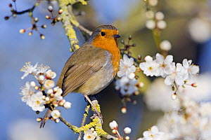 Robin (Erithacus rubecula) on branch with blossom, Gloucestershire, England - David Kjaer
