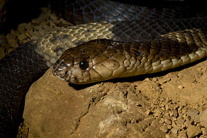 Egyptian Snouted Cobra (Naja annulifera) on rock, Captive, from South East Africa  -  Rod Williams